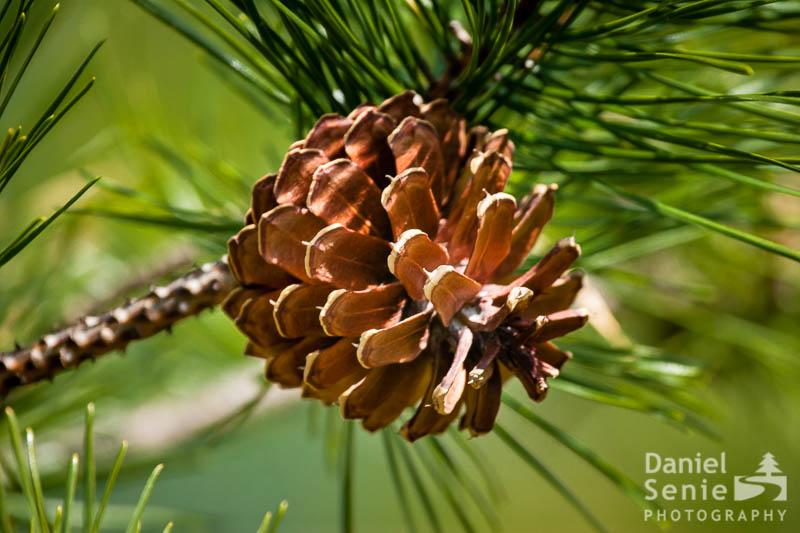 Devil's Pine
